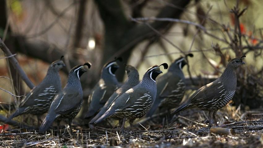 Pájaro estatal: codorniz de California