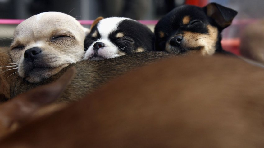 Chihuahua Puppies Dog File Stock Generic